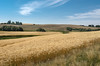 Wheat farming in the Palouse area of Washington