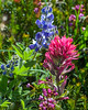Indian Paintbrush and Lupine