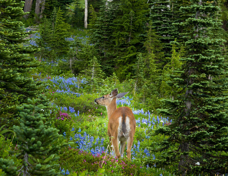 Lupine in Paradise Meadows